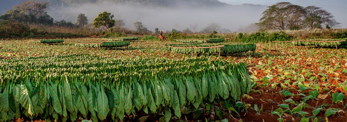Für die Tabakplantagen wird Wald gerodet